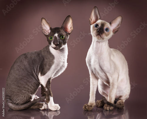 Photo  Cornish rex kitten, 3 months