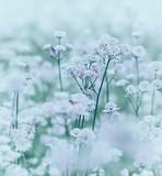 Pole kwitnienia Astranta Major - 61315744