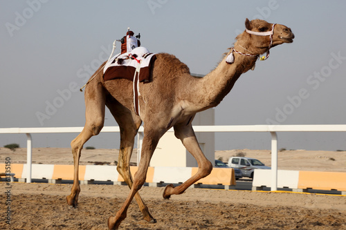 Tuinposter Kameel Traditional camel race in Doha, Qatar, Middle East