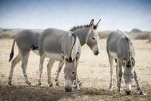 Somali Wild Ass (Equus Africanus) In Israeli Nature Reserve