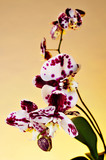 polka dot Phalaenopsis orchid
