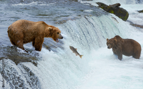 A brown grizzly bear hunting salmon at the river, Alaska, Katmai
