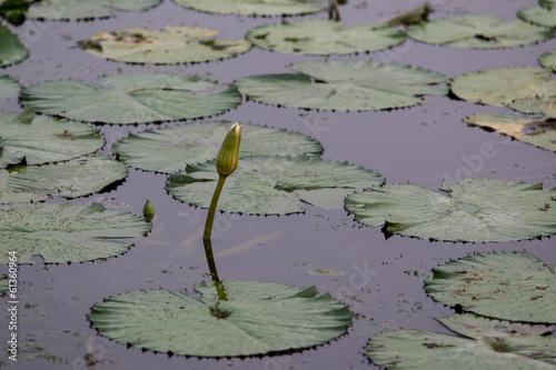 Deurstickers Waterlelies Lotus.