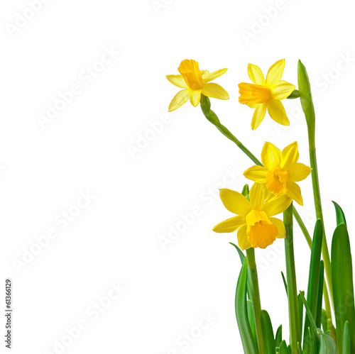 Papiers peints Narcisse Spring flower narcissus isolated on white background.