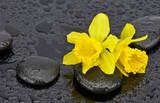Fototapeta Kamienie - Żonkile z kamieniami bazaltowymi
