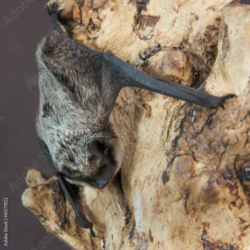 Zweifarbfledermaus (Vespertilio murinus)