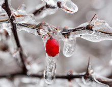 Ice Covered Branches Start To ...