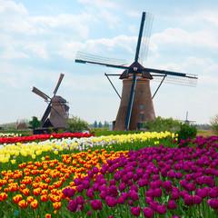 fototapeta dwa holenderskie wiatraki w pola tulipanów