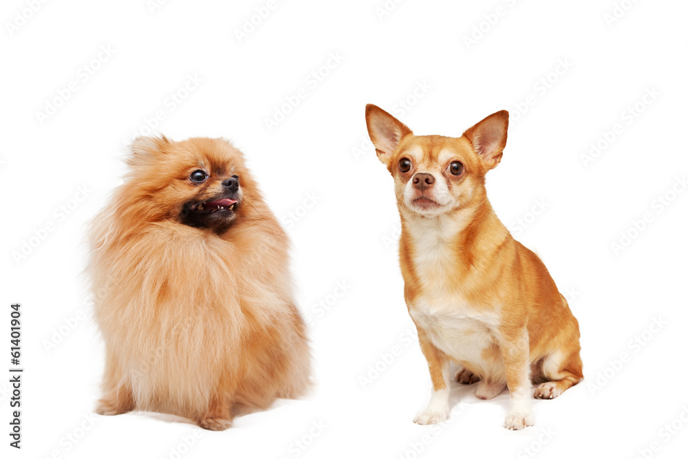 Pomeranian and Chihuahua isolated on a white background