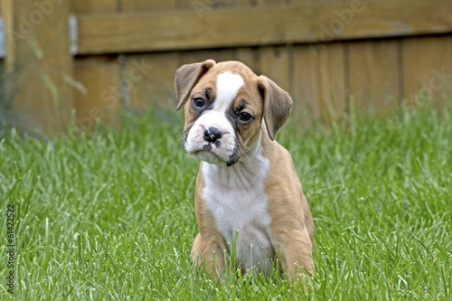 Fotografie, Obraz  Curious Tan and White Boxer Puppy