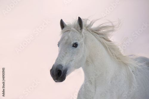 Keuken foto achterwand Paarden White Arabian horse runs on sunset background