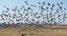 Barnacle Geese Flying Away In ...