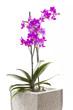 Orchidee im Topf auf weißem Hintergrund