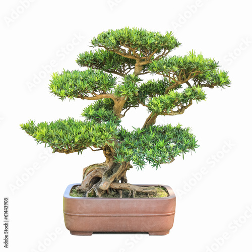 Foto op Canvas Bonsai green bonsai elm tree