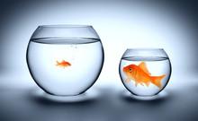 Big Goldfish In A Small Aquari...