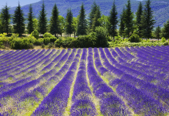 Obraz na Szkle Prowansalski Lavender flower blooming.SUmmer background.Provence,France.