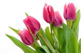 Fototapeta Tulipany - Pink tulip