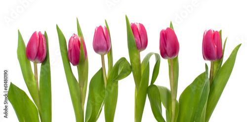Keuken foto achterwand Tulp Pink tulip