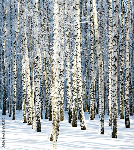 Tuinposter Berkbosje Snowy winter birch grove in sunlight