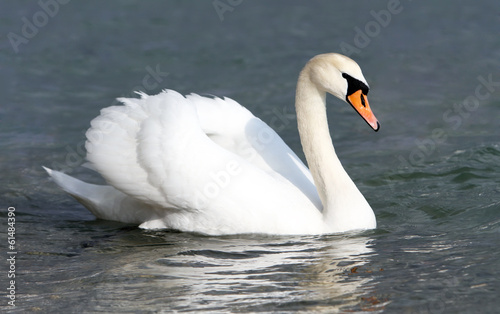 White swan in the water.