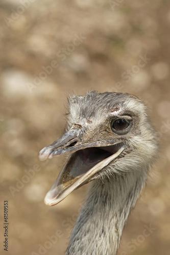 Staande foto Struisvogel Smiling ostrich