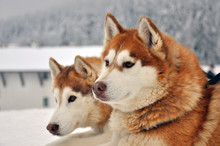 Portrait Of Red Siberian Husky Dogs On A Snowy Background