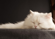 Male Persian Cat Sleeping