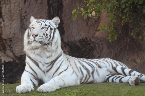 Foto auf AluDibond Tiger Black and White Striped Tiger