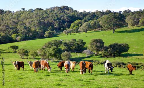 In de dag Australië Australian Cattle