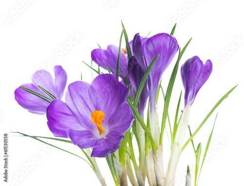 Papiers peints Crocus Spring crocus flower background