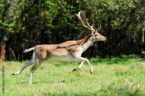 Fotobehang Ree Fallow deer