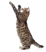 Cute Tabby Kitten Standing On Hind Legs And Leaping. Isolated