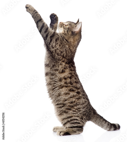Obraz na plátne Cute tabby kitten standing on hind legs and leaping. isolated
