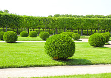 Arborvitae In The Shape Of A Ball In A Park