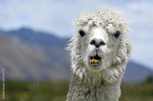 Spoed Foto op Canvas Lama Llama