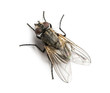 canvas print picture - Dirty Common housefly viewed from up high, Musca domestica