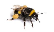 Buff-tailed Bumblebee, Bombus ...