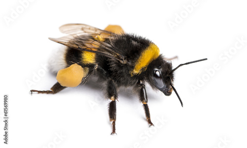 Foto Buff-tailed bumblebee, Bombus terrestris, isolated on white
