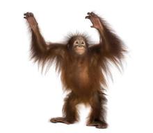 Young Bornean Orangutan Standi...