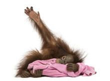 Young Bornean Orangutan Lying,...