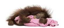 Young Bornean Orangutan Tired,...