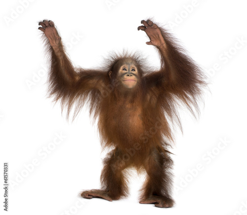 Foto op Aluminium Aap Young Bornean orangutan standing, reaching up, Pongo pygmaeus