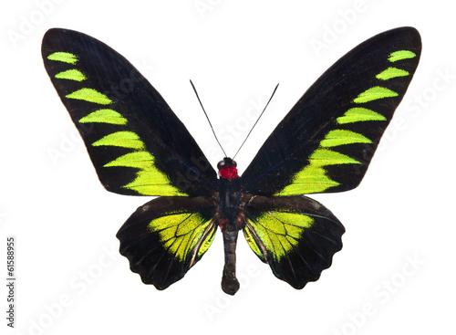 Photo  Butterfly Trogonoptera Brookiana