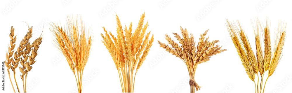 Fototapety, obrazy: set of various wheat ears