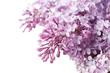 Beautiful lilac on white background
