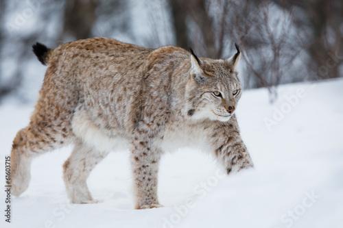Wall Murals Lynx Lynx walking in the snow