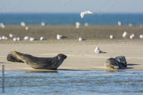 Fototapeta premium Les phoques de la côte Picarde en Baie d'Authie, à Berck-sur-m