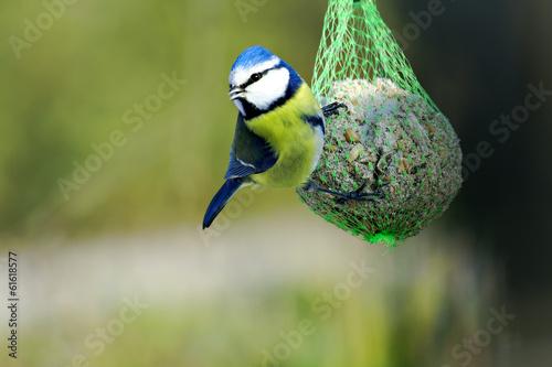 Fotomural  blue tit