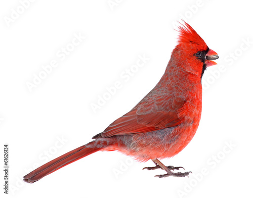 Photo  Northern Cardinal Isolated