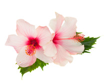 Two Pink Hibiscus Flowers With...